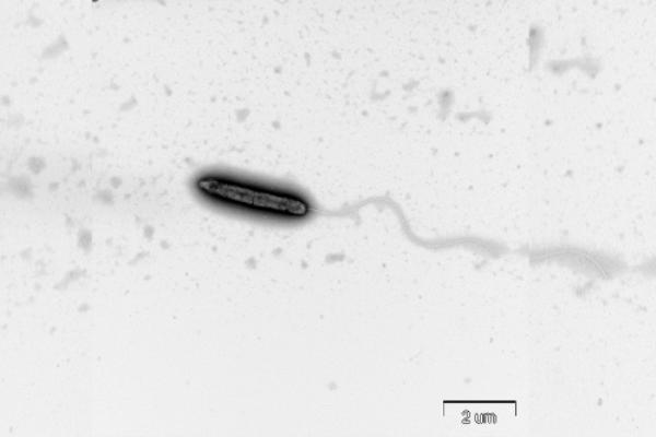発見された新種の硫酸還元菌 HN2T株の電子顕微鏡写真。