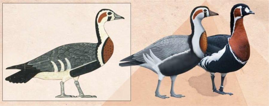 一番近い現生種「アオガン」との比較