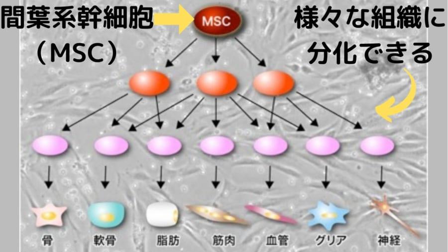 本記事で言う幹細胞は間葉系幹細胞である。間葉系幹細胞はiPS細胞ほどではないが、様々な組織に分化できる