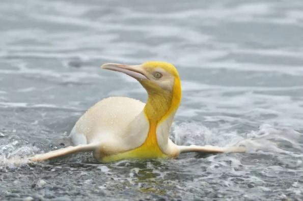 前例のない「黄色ペンギン」を発見! 黄色い色素がアルビノだけでは説明できない