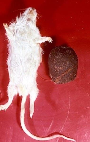 シデムシにより加工された腐肉(右)