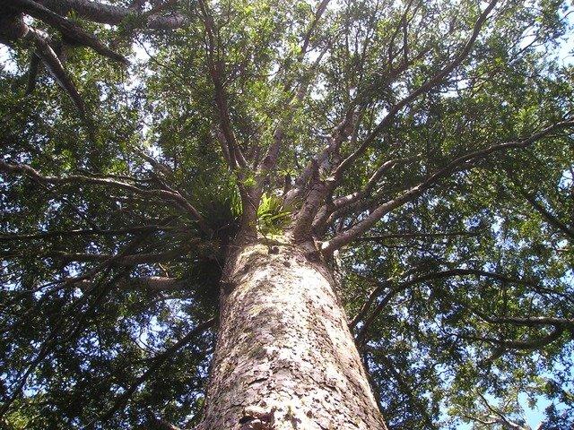 ニュージーランドにだけ生育する巨木「カウリの木」