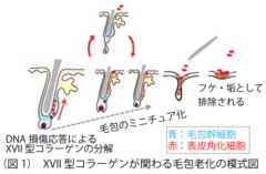 毛包老化の模式図。