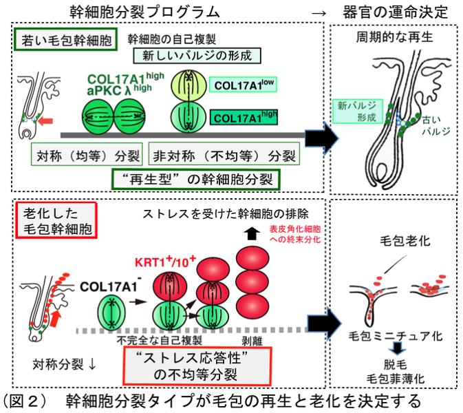 幹細胞分裂タイプが毛包の再生と老化を決定している。