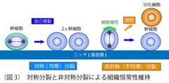 細胞の対称分裂と非対称分裂。