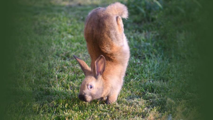 ウサギに「逆立ち歩き」させてしまう遺伝子が判明? 遺伝子の欠陥でホッピングが不可能に