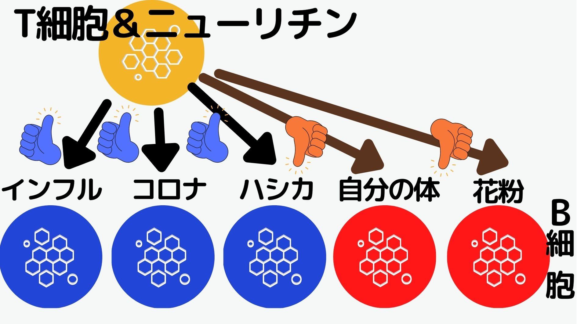 特殊なT細胞が分泌するニューリチンは害になる抗体を作るB細胞を消失させる