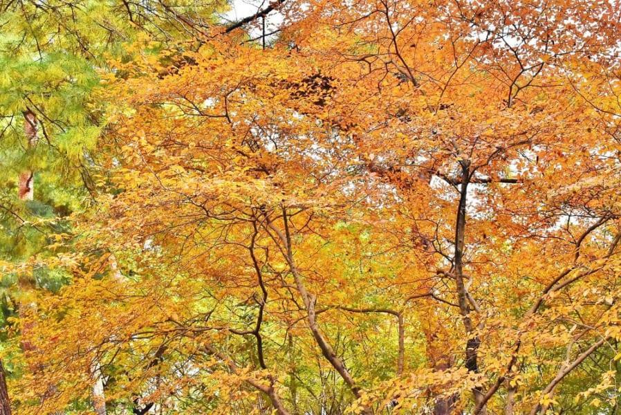 日本のヤマコウバシがたった1本の母樹から生まれた「クローン」だったと判明!