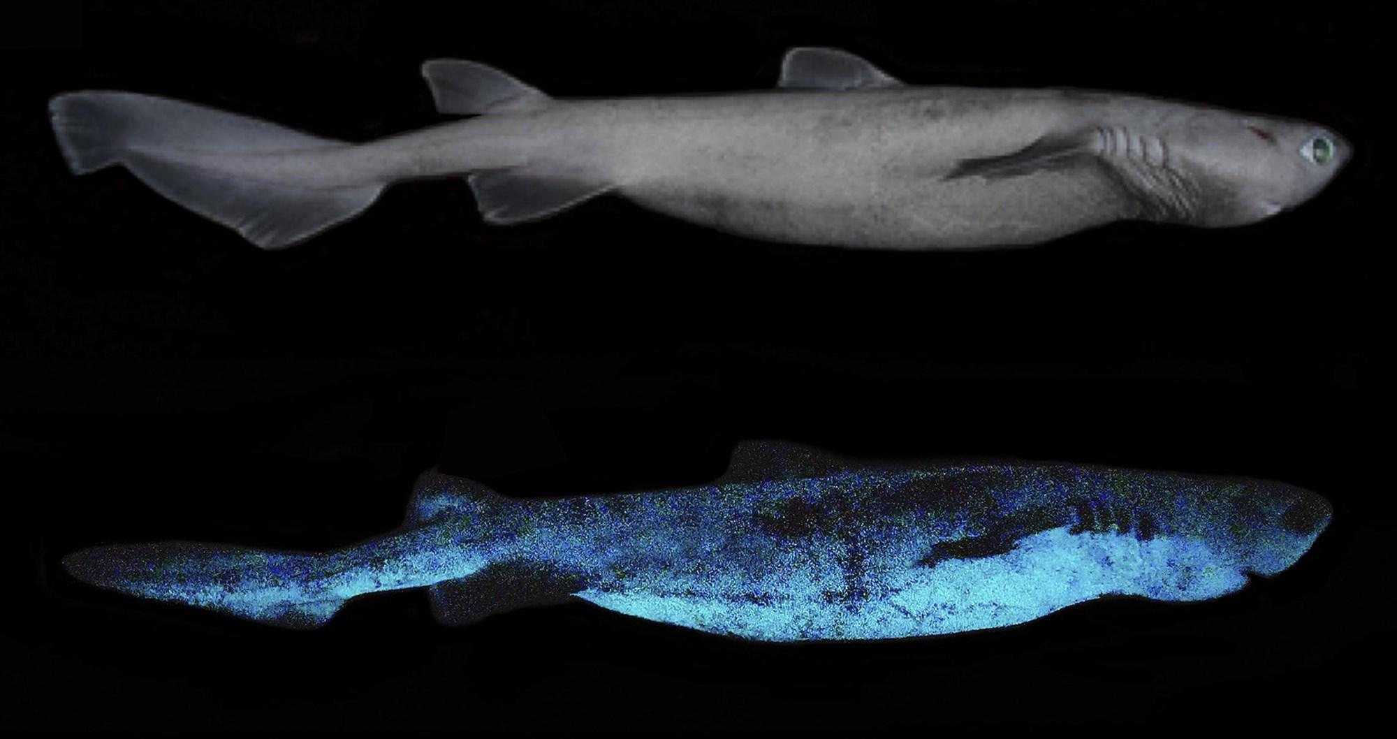 青い光を放つ「ヨロイザメ」