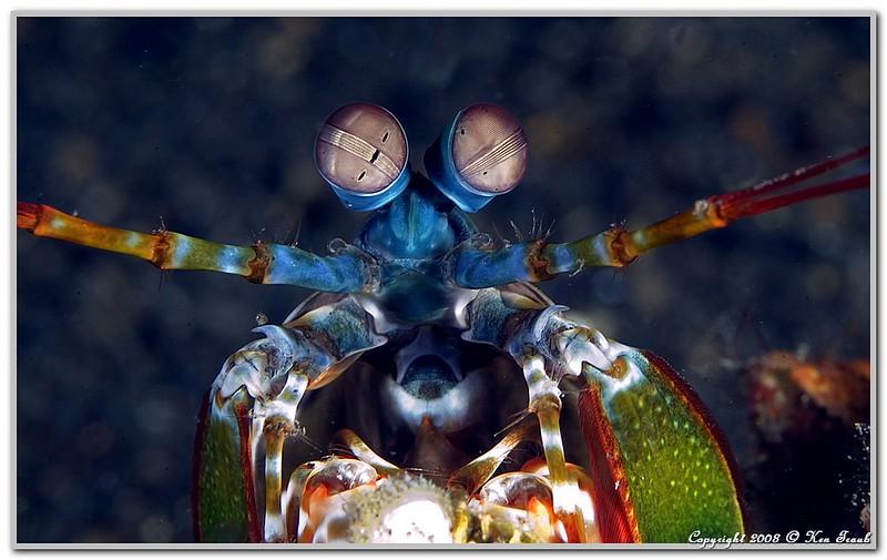 人間の目が3つナノに対して、シャコの目は16の光受容体を持つ。
