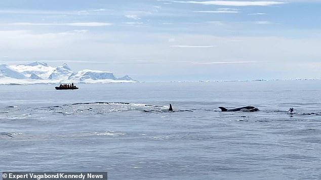 シャチの群れに追われるペンギン