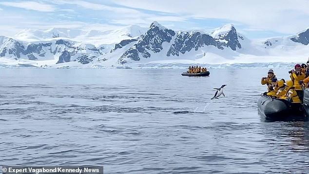 シャチから逃げるペンギンが取った行動とは?