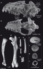 インドハイアスの化石