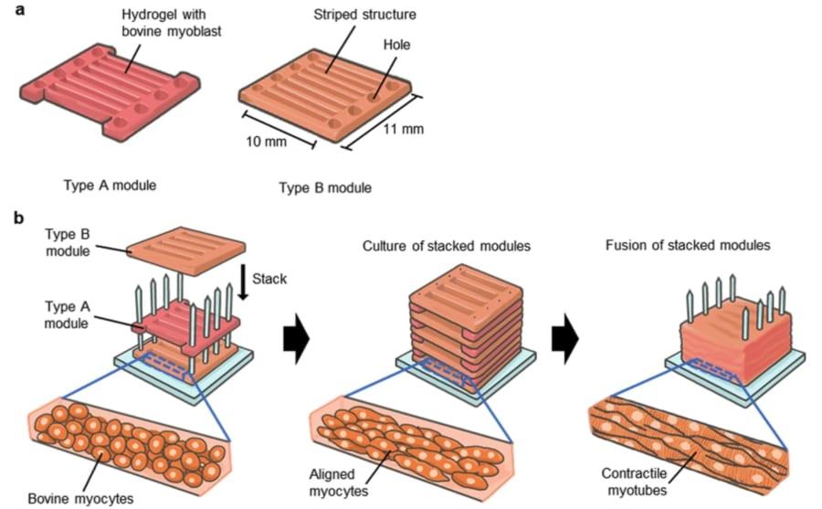 2種の足場を積層して3次元培養