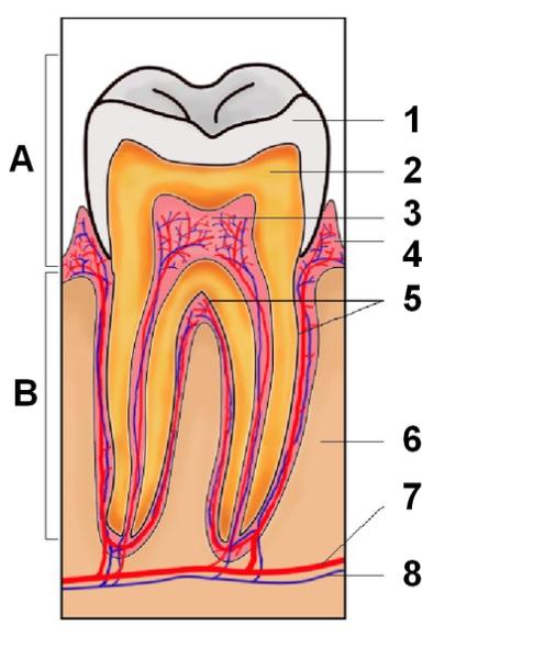 1.エナメル質、2.象牙質、3.歯髄