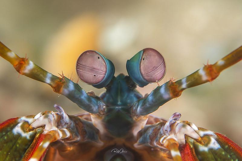 ハエと同じような複眼のシャコの目は、光受容細胞のクラスターとなっている。