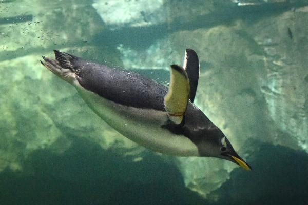 30分も海に潜れるペンギンは血中ヘモグロビンが進化していた
