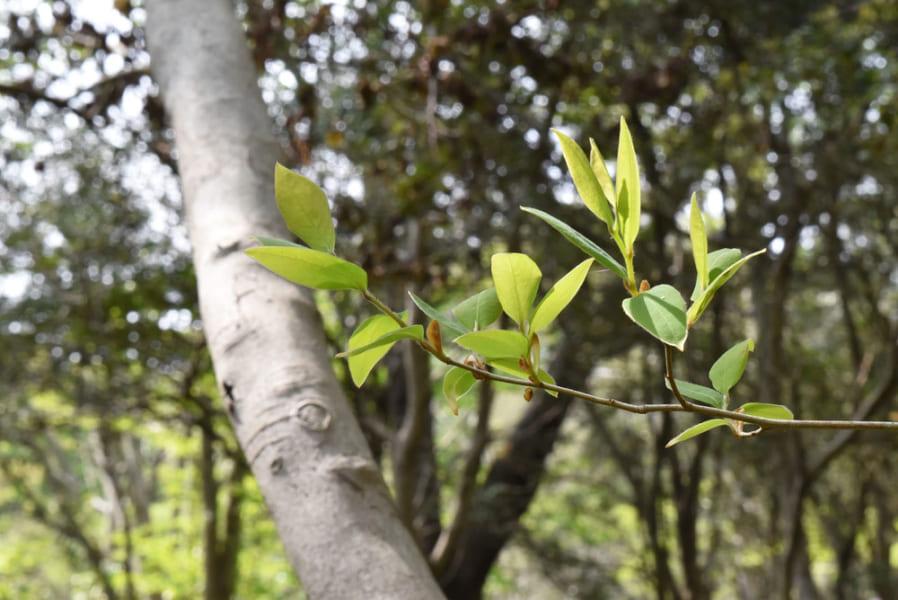 ヤマコウバシの新芽
