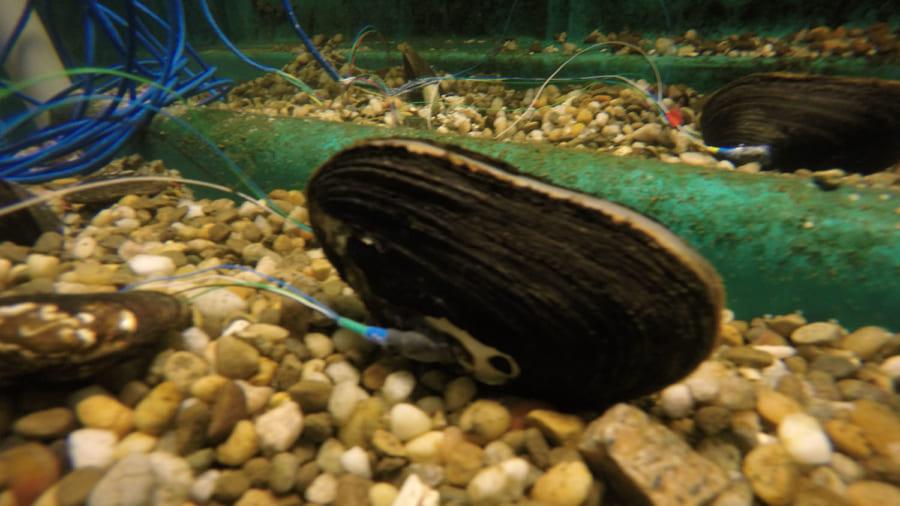 「水質検査するムール貝」を開発 殻の開閉の仕組みを応用