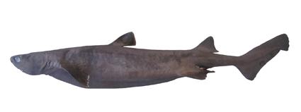 ヨロイザメ