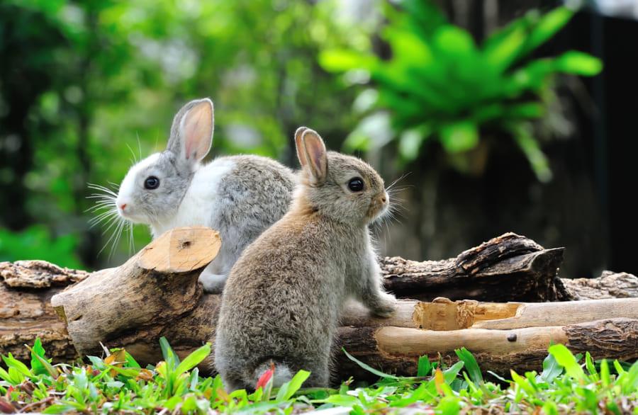 もっと大きなウサギがいない理由を解明 他の草食動物が進化を抑圧していた?(京都大学)