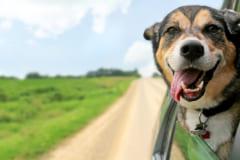 犬はなぜドライブ中に顔を出す?
