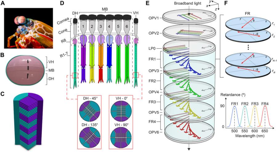 A~Dはシャコの目の構造。E,FはSIMPOLセンサーの構造を示す。