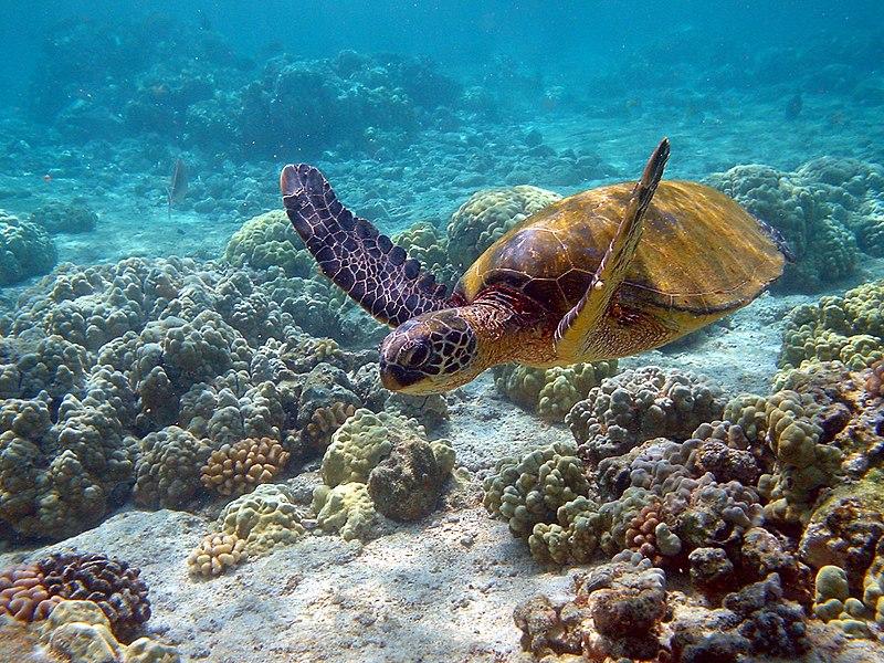 ウミガメは口から余分な塩水を吐き出す