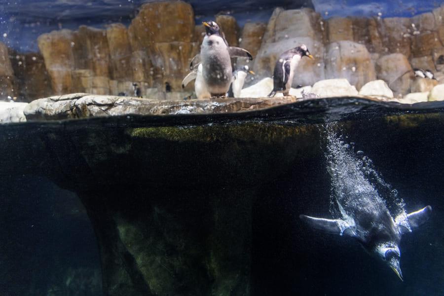 ペンギンのスば抜けた潜水能力は、血液に秘密がある。