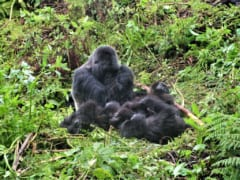 ゴリラの親と子どもたち