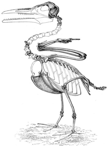 「イクチオルニス」の骨格の復元図