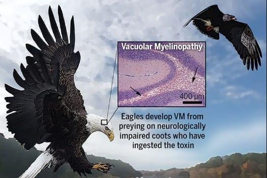 VMに感染すると液胞ができたり穴が開いたりする