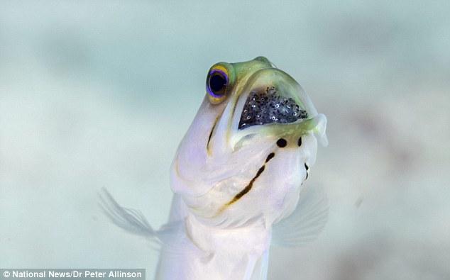 オスの「アゴアマダイ」は口内で卵を保育し、詰め込みすぎてエサが食べられなくなってしまう