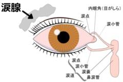 涙腺は左右の目の外側・上あたりに存在する
