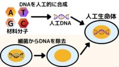 人工生命体は化学合成されたDNAとDNAを抜き取られた細菌を合わせて作られる