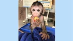 トリプトニドの摂取をやめたオスの精子からうまれたサルの赤ちゃんは健康に育っている