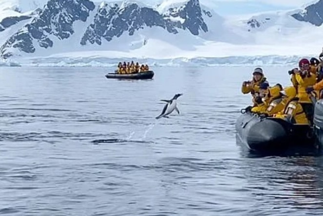 決死の大ジャンプ! シャチに追われるペンギンの逃走劇が胸アツ