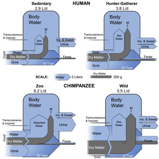 人(上)とチンパンジー(下)の水消費量