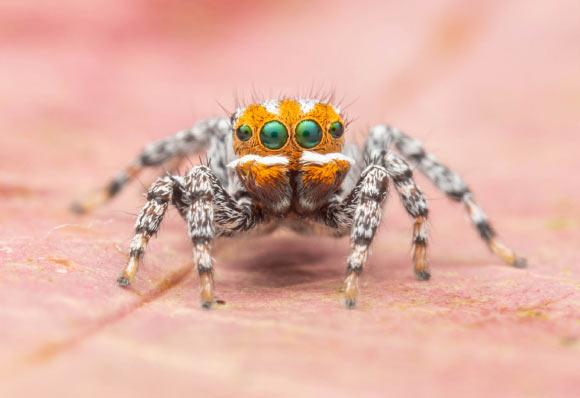 クマノミに見える? 孔雀クモの新種を発見 ディズニーキャラにちなんで「ニモ」と命名