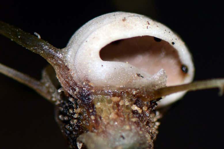 ゴースト植物「フェアリーランタン」の新種を発見! 菌類から栄養素を盗む能力をもつ