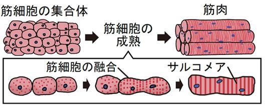 筋芽細胞の成熟