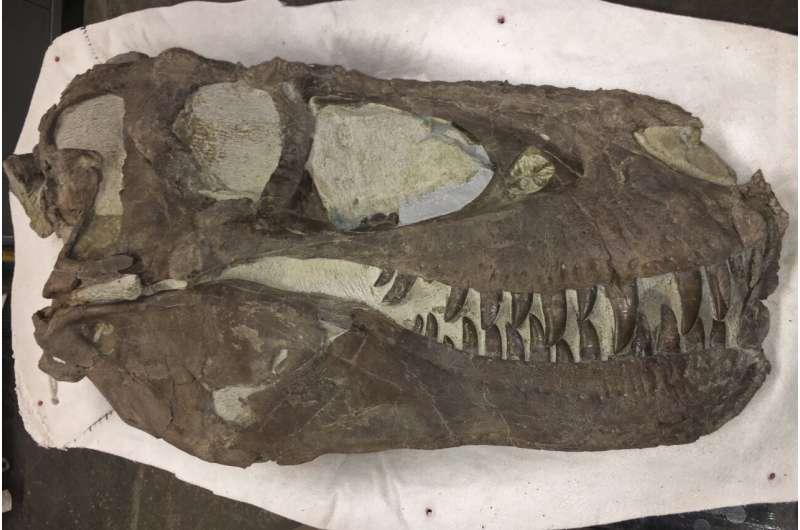 現場で見つかったTレックスの頭蓋骨