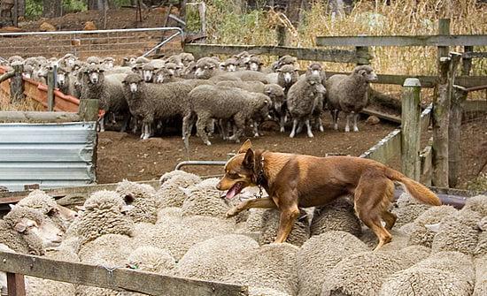 牧羊犬より「ドローン」の方がヒツジの心臓にやさしいと判明