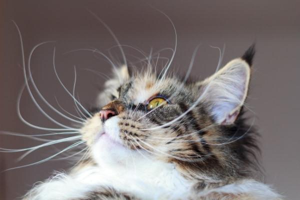 鬱陶しそうに見えても、安易に猫の日ヒゲを切ってはいけないらしい。
