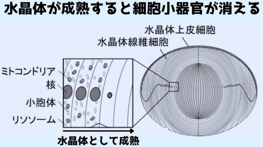 水晶体の細胞は成熟すると細胞小器官が消えていくことが100年前から知られていた