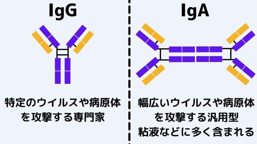 IgGは専門家。IgAは粘液などに存在する汎用型
