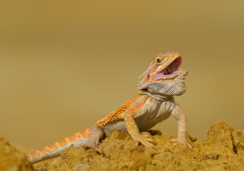 高温の環境がメスのトカゲを誕生させる。オスの性染色体をもっていても無効化