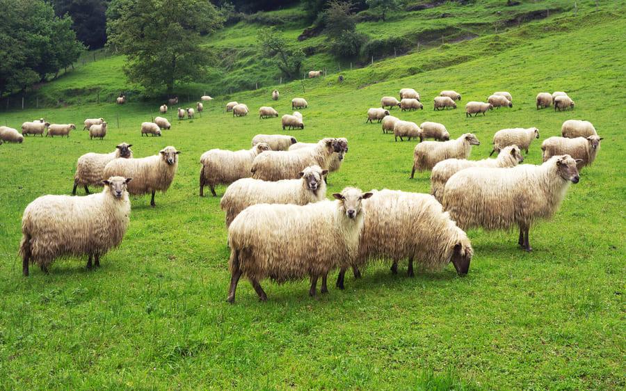 牧羊犬よりドローンの方が心臓にやさしい?