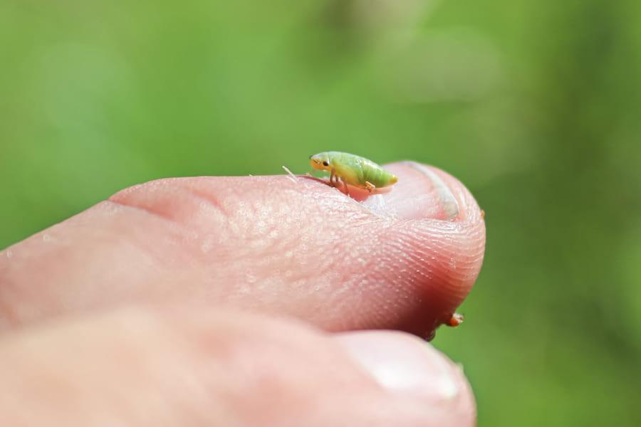 アワフキムシの幼虫
