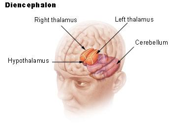 """""""Hypothalamus""""が視床下部。室傍核はこの視床下部の内側部に位置する。"""